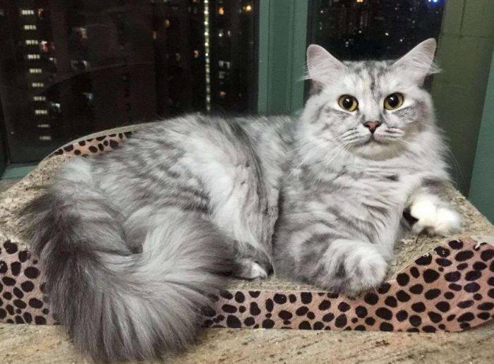 Рагамаффин - фото и описание породы кошек (характер, уход и кормление)