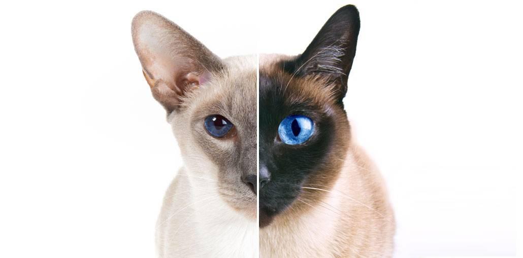 Сиамская и тайская кошка отличия породы - ничего себе... вот это да!