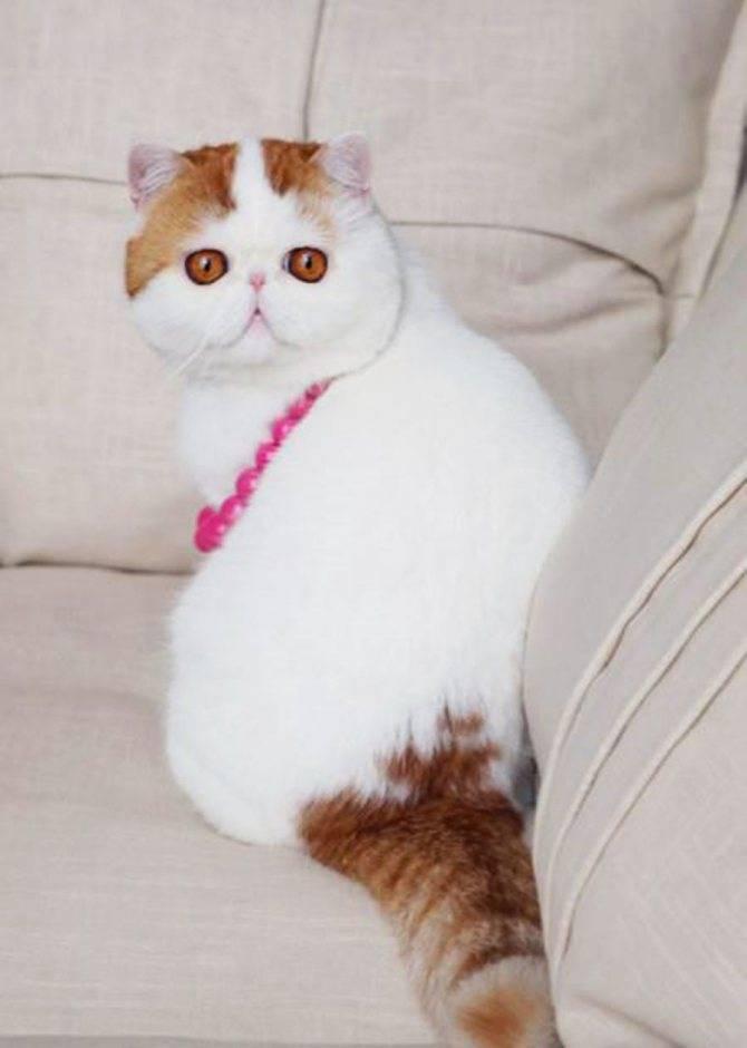 Как называется порода кошек с большими глазами?