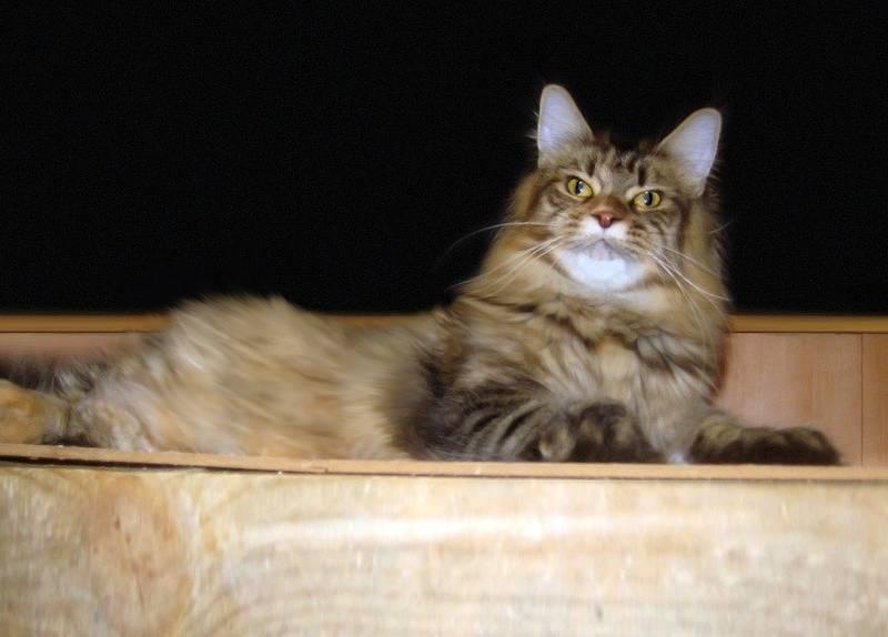 Сколько живут мейн-куны: рекомендации по содержанию большой кошки