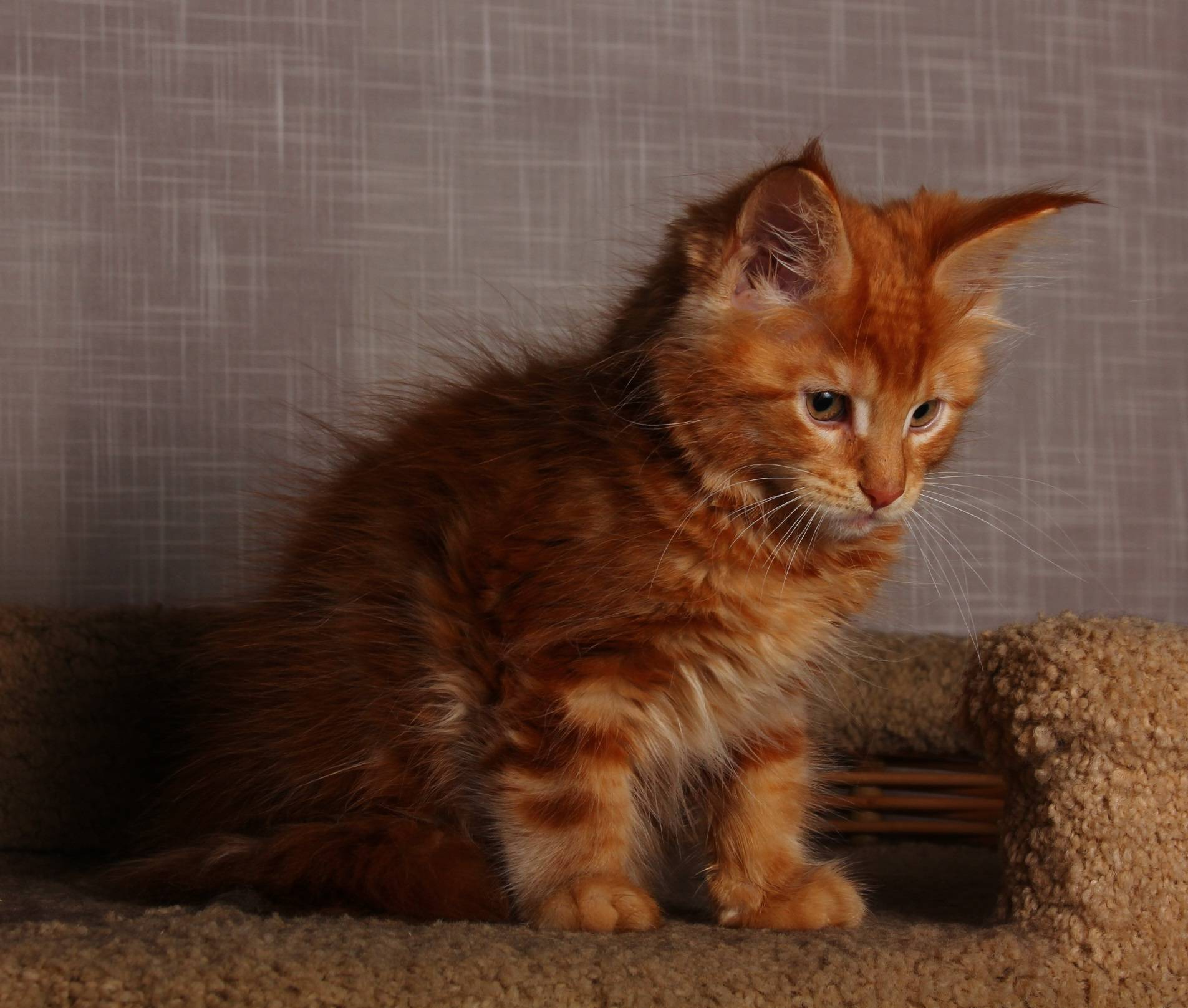 Кошка мейкун — характеристика породы