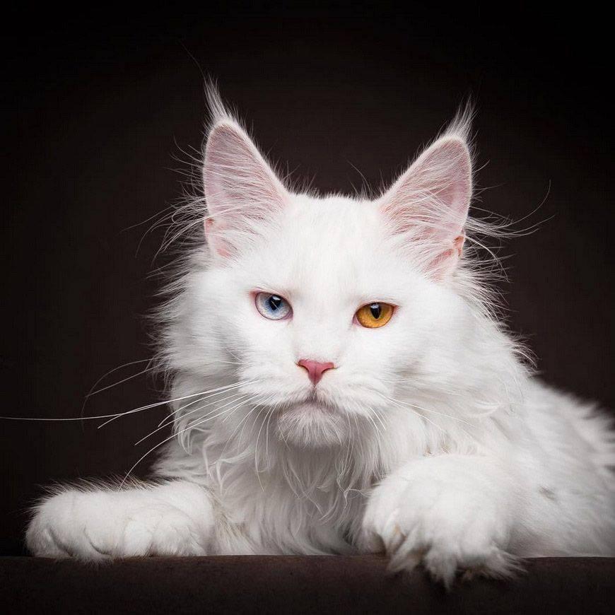 Кошка породы мейн-кун — фото, история, описание, характер, содержание в домашних условиях