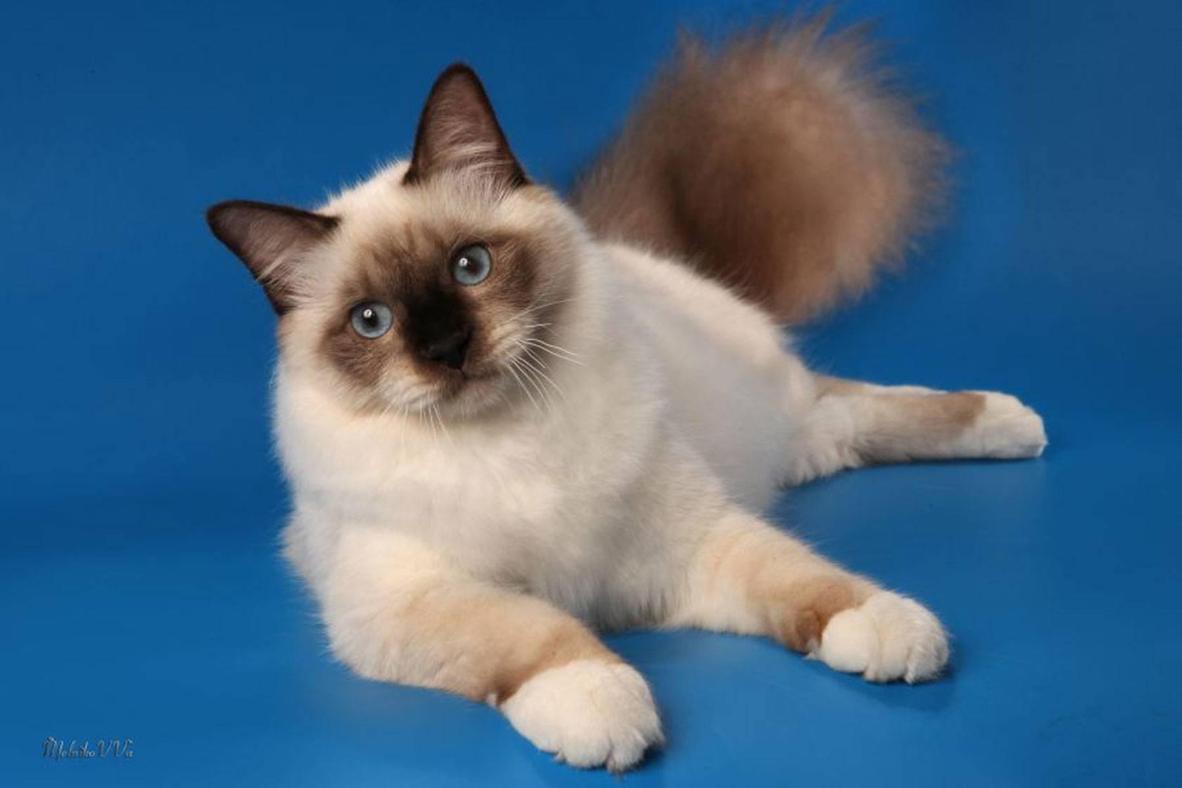 Сиамская кошка: фото, описание породы, характер, уход, видео сиамская кошка: фото, описание породы, характер, уход, видео