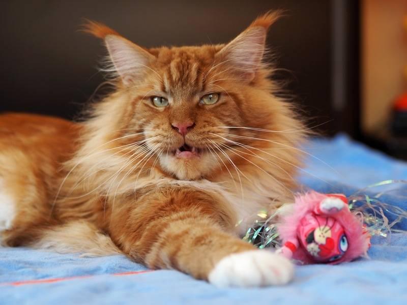 Все о рыжих мейн-кунах: генетика, разновидности и характер больших кошек с красным окрасом