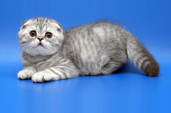 Хайленд фолд: 115 фото кошки, описание породы, особенности характера и необходимый уход