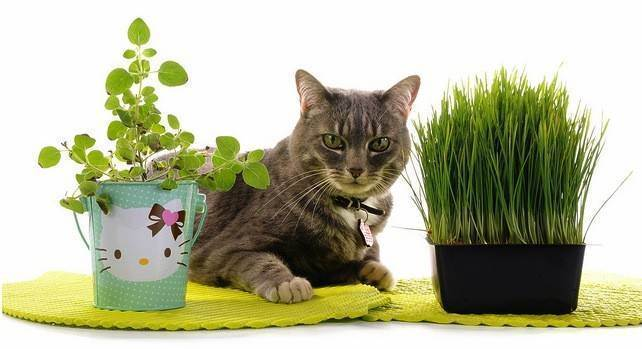 Какую траву проращивают для кошек, зачем они ее едят, как посадить и вырастить кошачью травку дома без земли?