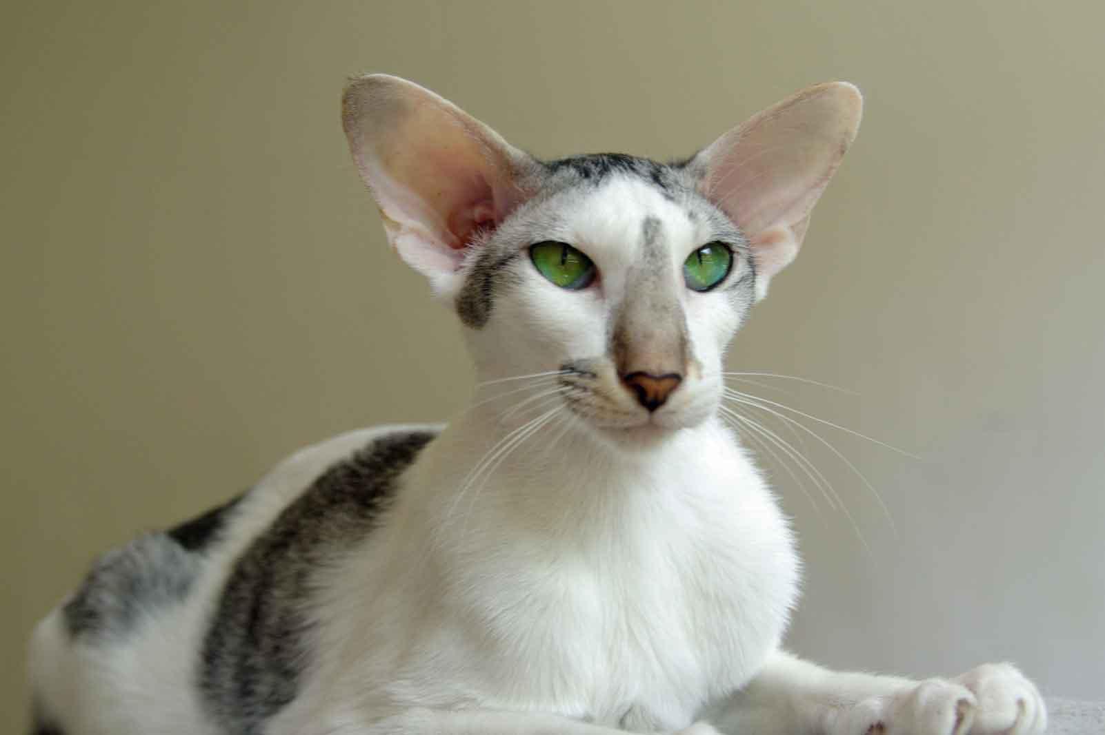 Породы кошек с круглыми ушами - zhivomag