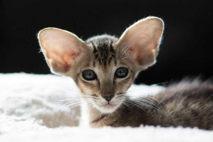 Ориентальная кошка - описание породы, базовые расцветки, характер и особенности ухода в домашних условиях