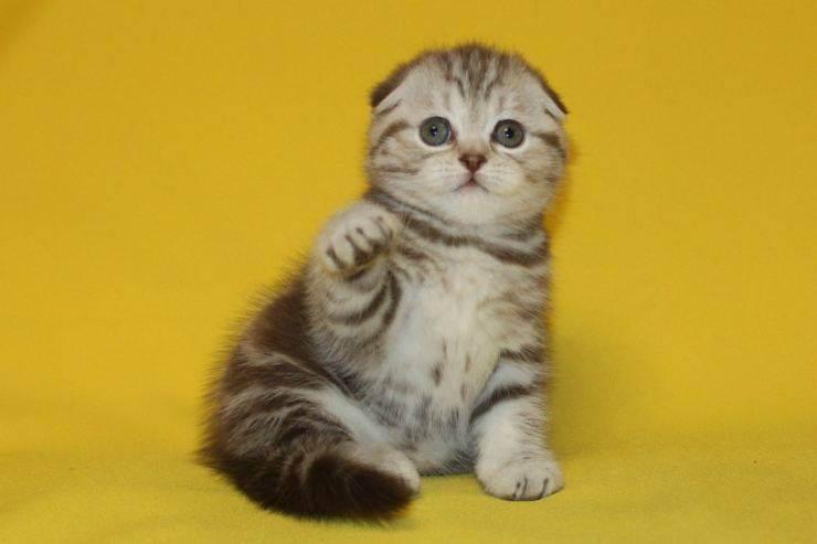 Шотландские вислоухие кошки: виды окраса, характер и правила содержания