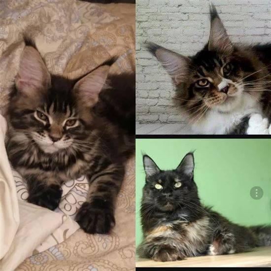 Как отличить обычного котенка от мейн куна - oozoo.ru