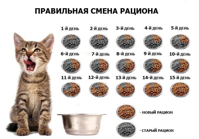 Питание котят из блюдца