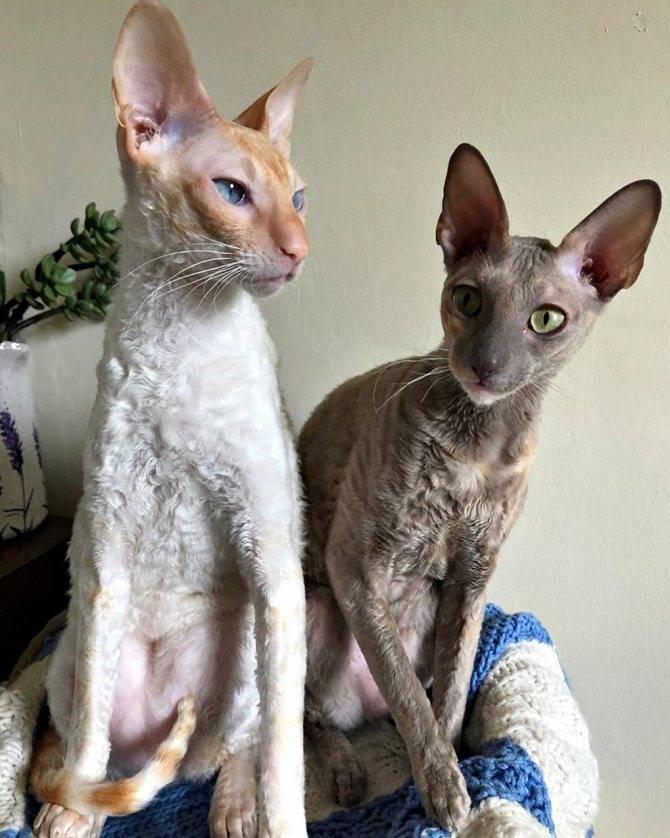 Селкирк рекс: кошки и коты