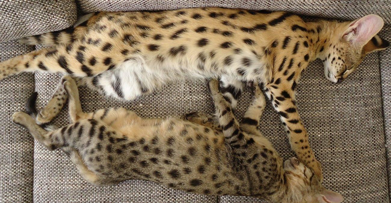 Саванна: описание породы кошки, особенности ухода и содержания, фото, отзывы владельцев кота