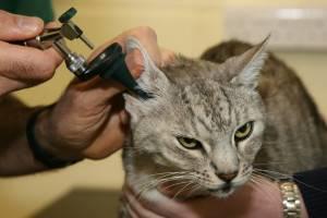 Чистим ушки кошке правильно! топ 8 средств для чистки ушей и секреты проведения процедуры!