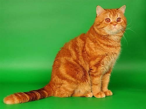 Классификация пород и окрасов кошек