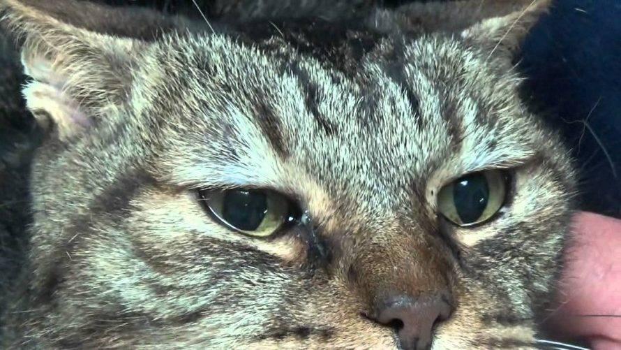 У кота сопли и слезятся глаза: причины, диагностика и лечение болезни
