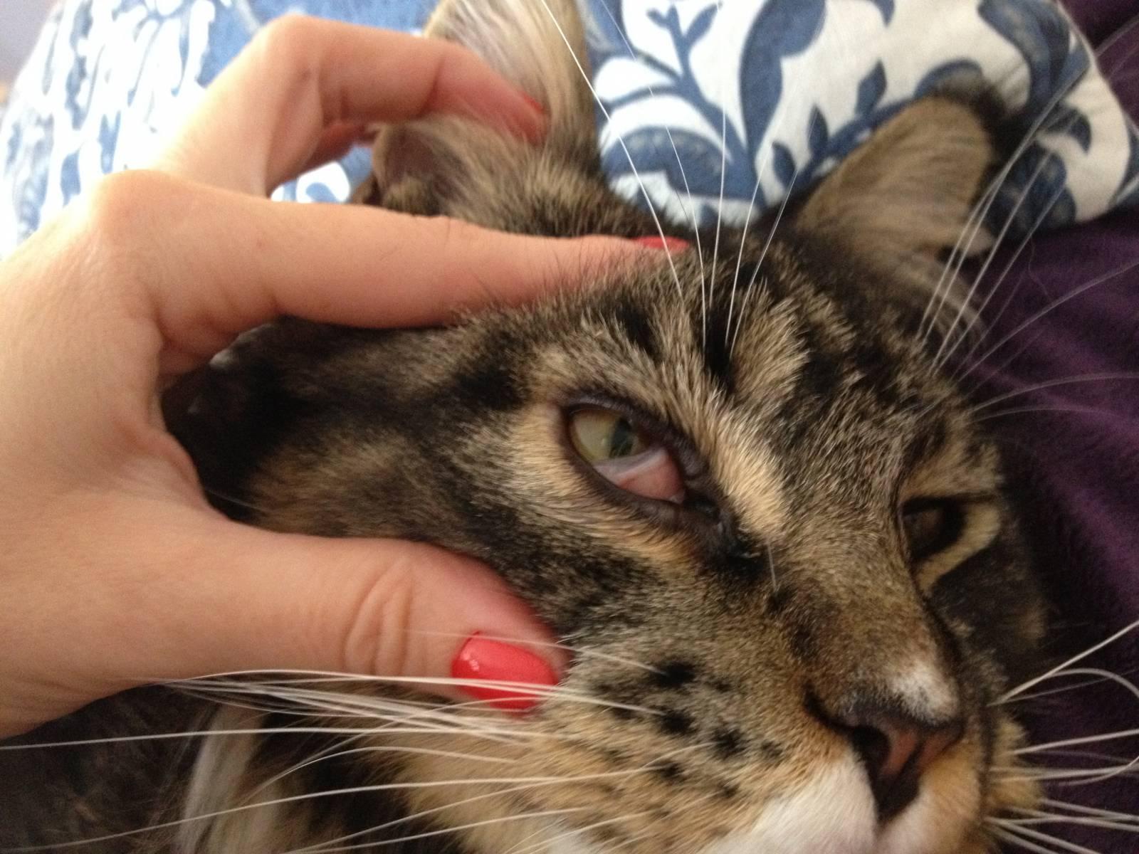 Болезнь кошек третье веко лечение