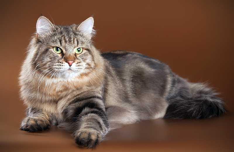 Сибирские кошки - фото и описание (характер, уход и кормление)