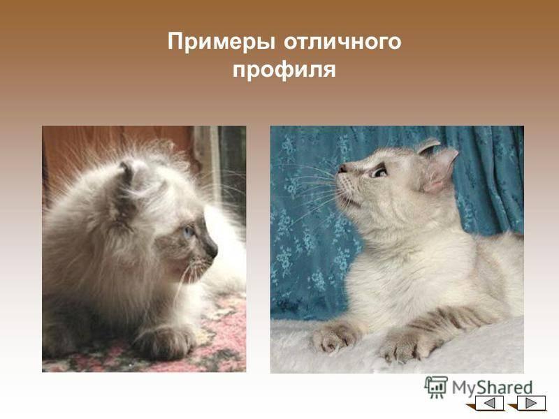 Американская короткошерстная кошка: описание породы