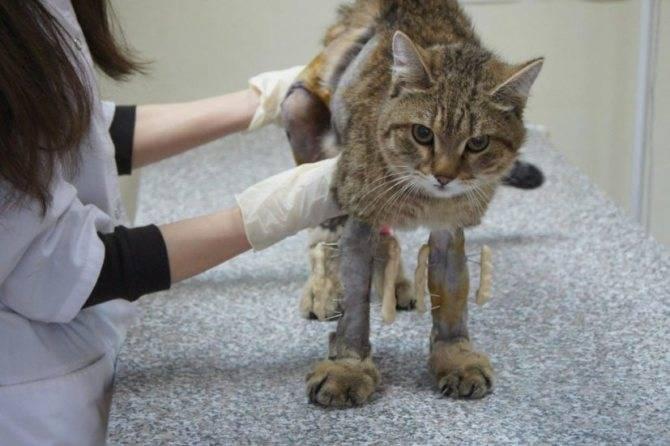 Какое обезболивающее дать коту при ушибе лапы