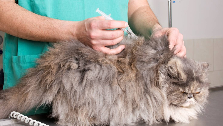 Кот хромает на лапу (заднюю или переднюю), лапа опухла, болит после укола или падения - что делать?