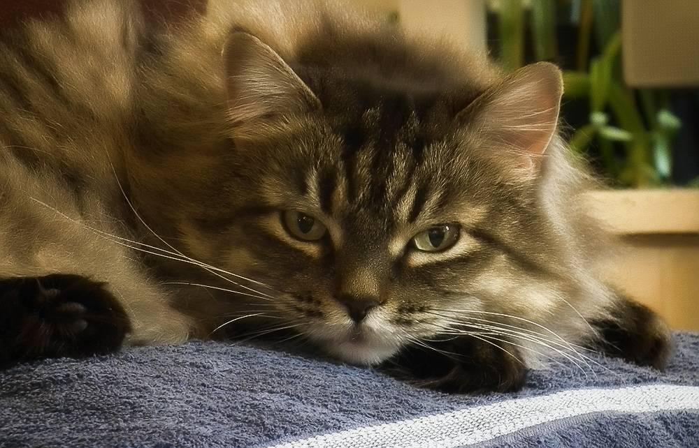 Лечение коронавируса у кошек препараты для лечения - муркин дом