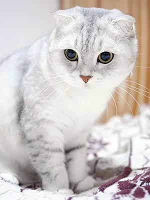 У фолда встали уши от болезни. о шотландской вислоухой кошке