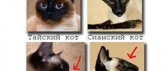 Сходства и отличия сиамских и тайских кошек