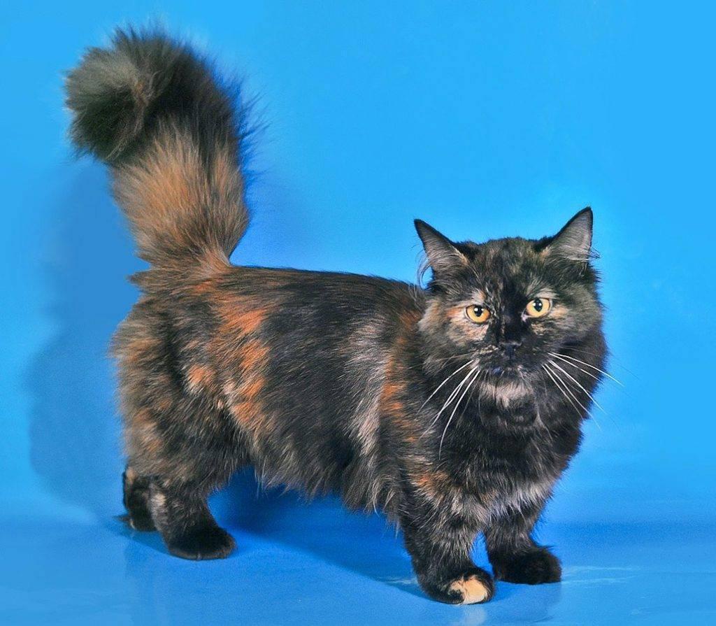 Особенности породы манчкин - кошек с короткими лапами, милые фото представителей этой породы, цены
