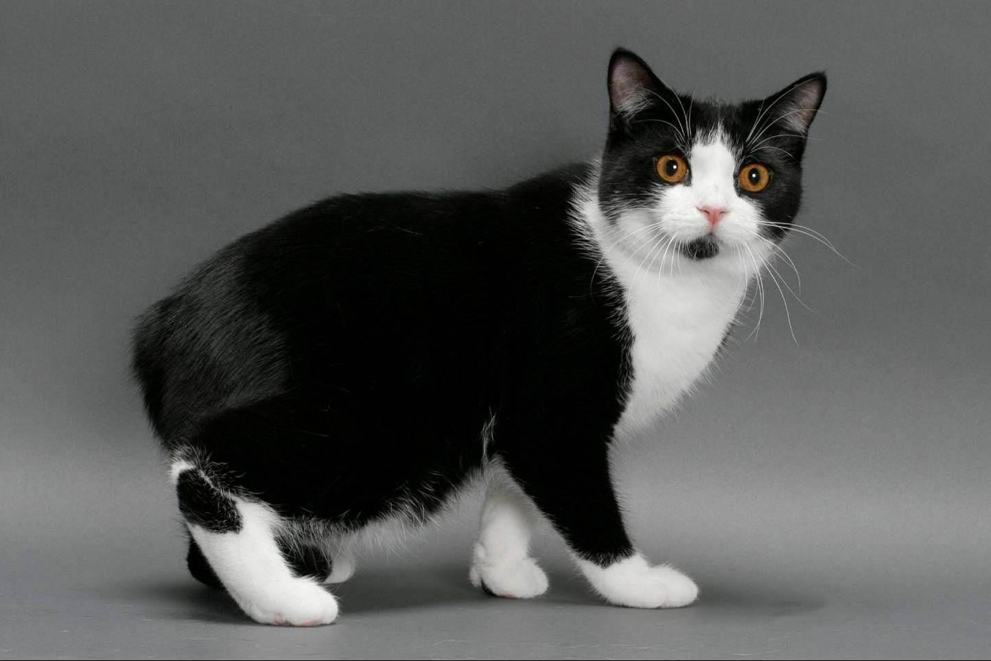Черно-белый кот, кошка, котенок: какое название у породы с таким окрасом?