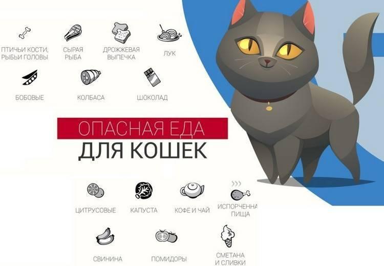 Чем кормить британских кошек-подбираем рацион питания