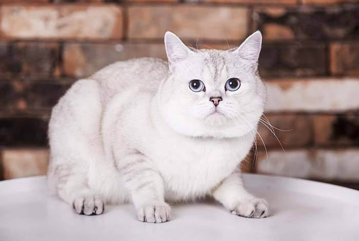 Британская кошка линяет что делать. почему британская кошка худая? домашняя кошка сильно линяет - что делать