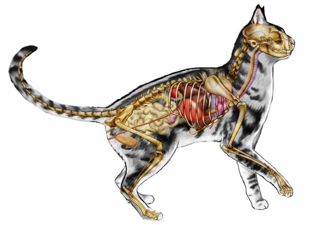 Анатомия кошки с фотографиями внутренних органов, мозг кота