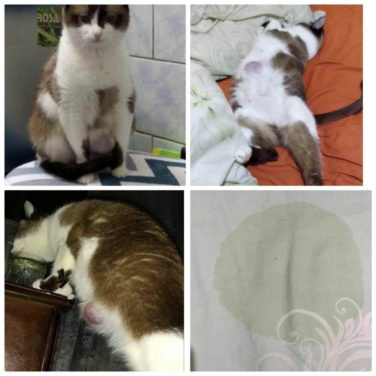 Причины раздутия живота у кошки, основные симптомы и лечение животного