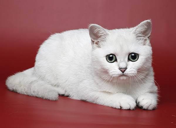 Шиншилла – это порода кошек или их окрас, может ли шиншилловый питомец быть британским или шотландским?