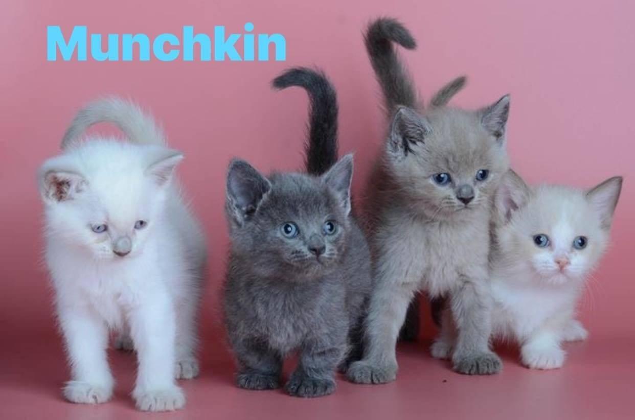 Имбридинг животных - питомник британских кошек arletta british