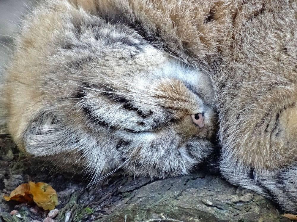 Кот манул в домашних условиях – можно ли держать дома