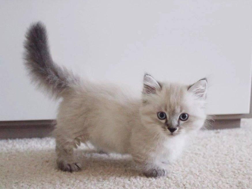 Самая маленькая кошка в мире: названия пород, их фото