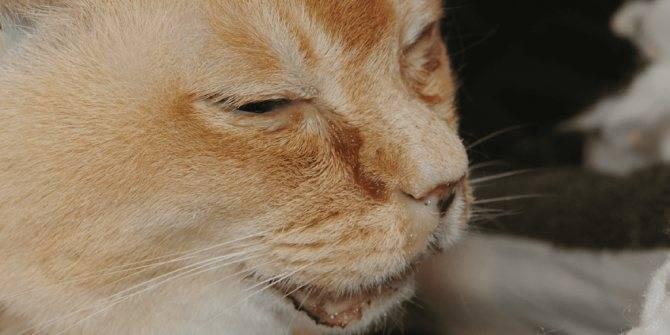 """Кашель у кошки: причины, симптомы, диагностика, лечение и прогноз, профилактические меры   блог ветклиники """"беланта"""""""