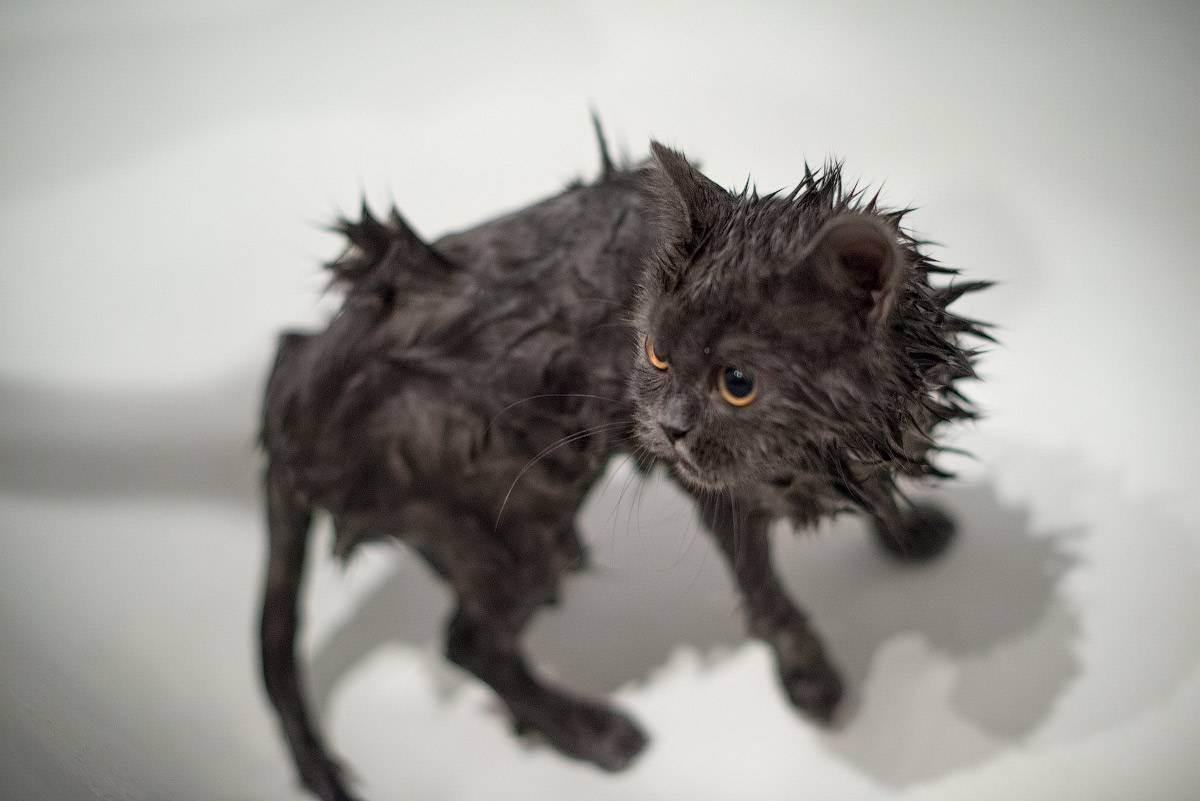 Как купать британского котенка: с какого возраста можно первый раз, как часто мыть?