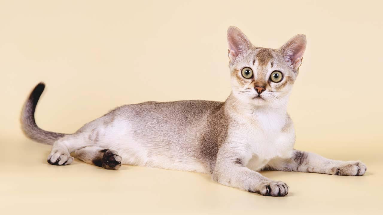 Сингапурская кошка взрослый котёнок