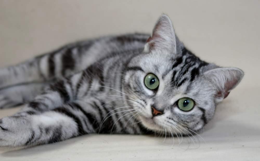 """Какой породы кошка из рекламы """"вискас"""": почему она выбрана для ролика"""