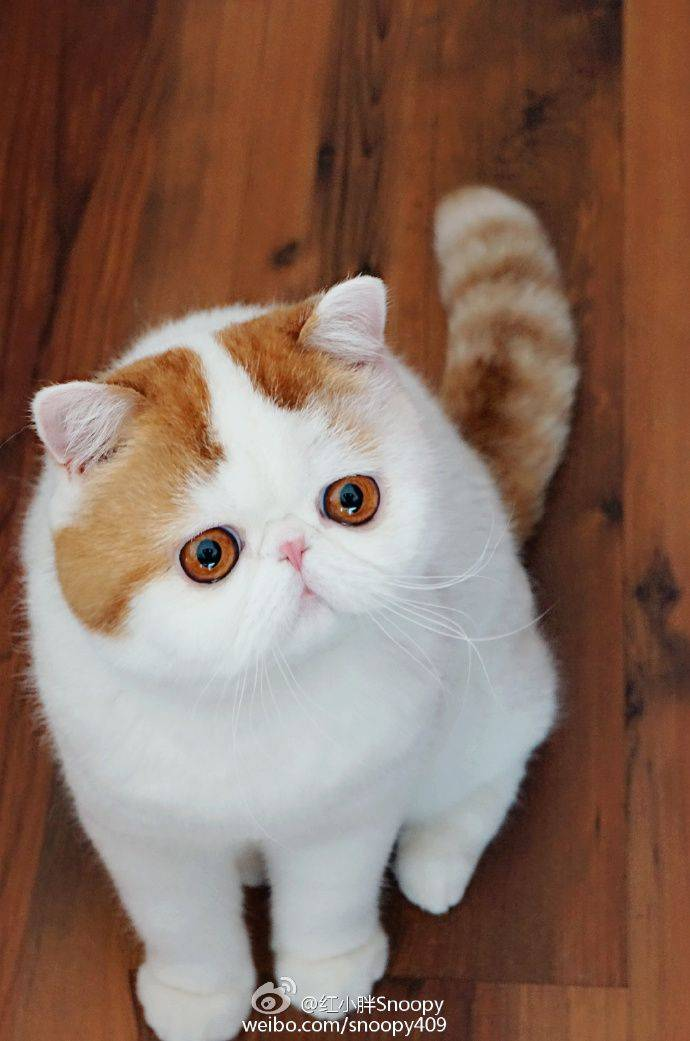 Кот с приплюснутой мордой и большими глазами