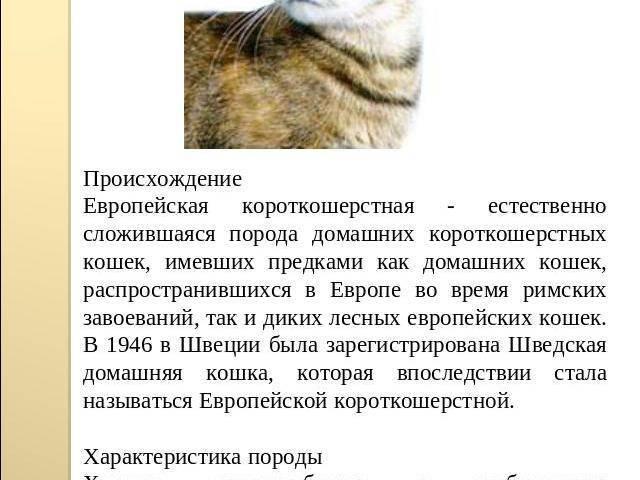 Бразильская короткошерстная – породистая кошка с внешностью дворняжки