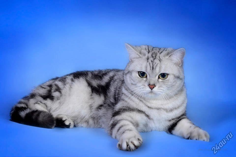 Порода кота из рекламы «вискас»: окрас и характер