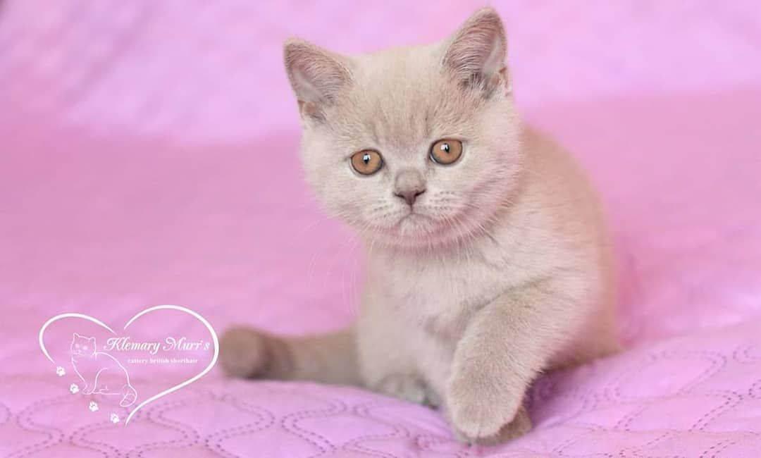 Стоит ли заводить котенка-британца? - запись пользователя александра (id1259351) в сообществе домашние животные в категории дети и животные - babyblog.ru