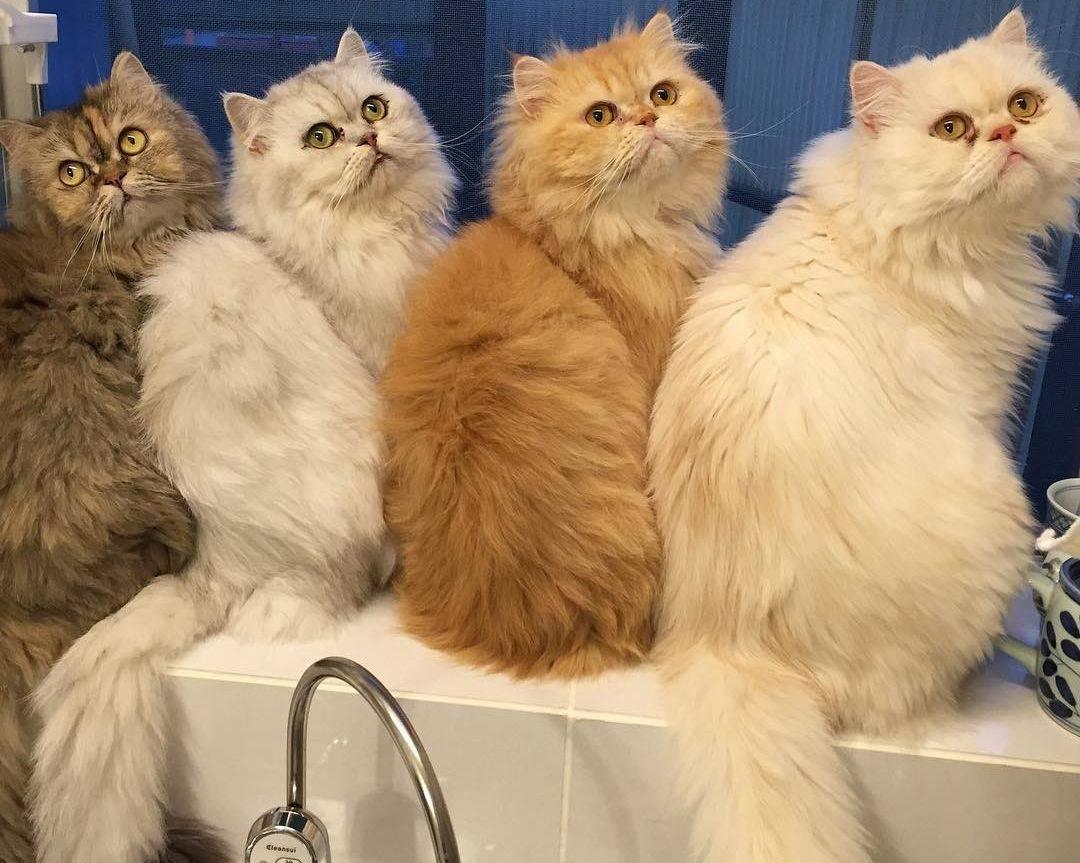 Сколько живут кастрированные коты персы