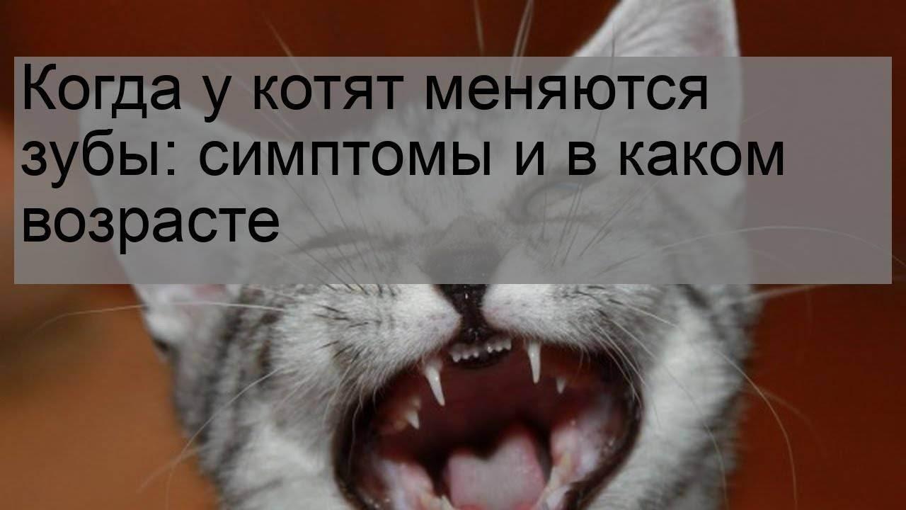 Когда у кошек меняются зубы на постоянные | zoosecrets