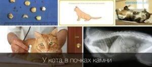 Почки кошек — самое слабое звено