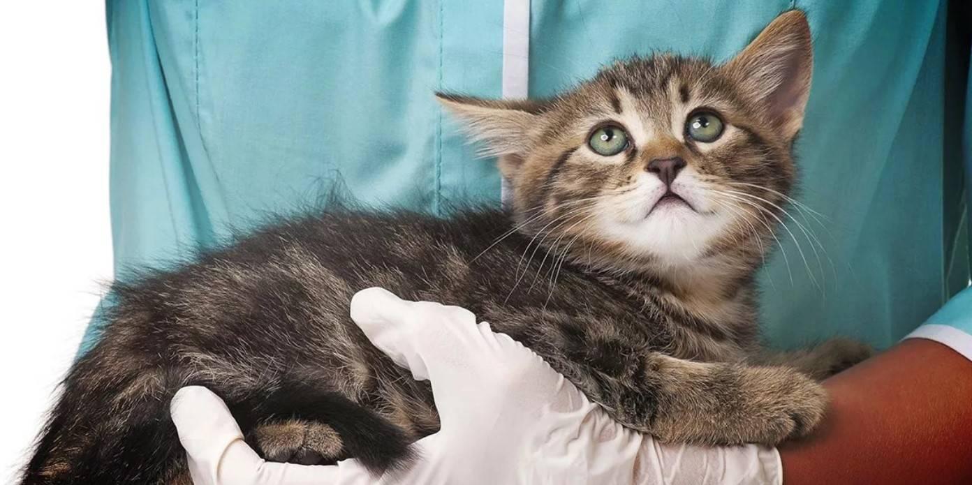 Рахит у котят симптомы, признаки рахита у котенка